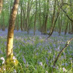Blue Bell Wood near Bredon Hill
